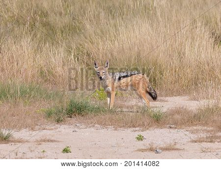 Black-backed jackal looking at us from a safe distance.