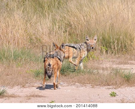 Two black-backed jackals chasing each other in the field.