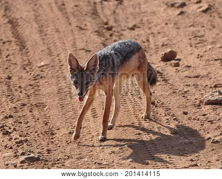 Black-backed jackal looking up at us while crossing the road