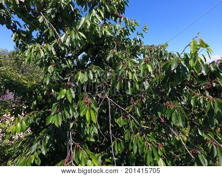 Branches Of Cherries With Ripe Berries. Ripe Sweet Cherry On A Tree. Ripening Of Berries Of Sweet Ch