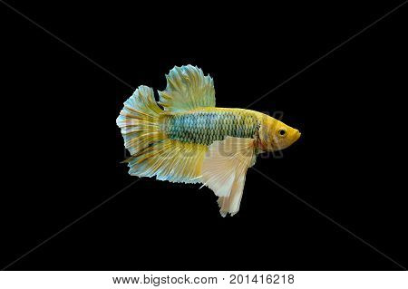 yellow betta fish fighting fish Siamese fighting fish isolated on black background Pla-kad biting fish Thai on black background with clipping path