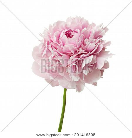 Pink peony flowers insolated on white background.