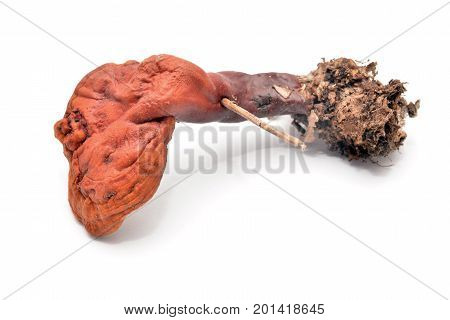 Ganoderma lucidum the lingzhi or reishi mushroom isolated on white.