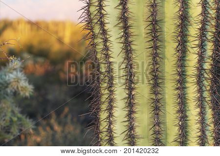 Close up of a saguaro cactus with blurred background copy space in Saguaro National Park near Tucson, Arizona, USA.