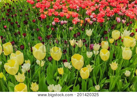 the blossoming of tulips in a park /an expanse of coloured tulips illuminated by the sun