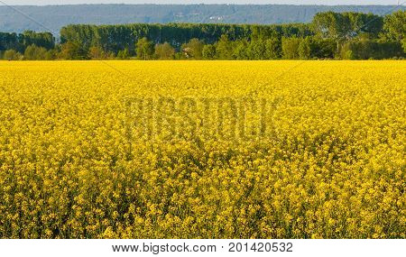 a field of yellow rapeseed flowers illuminated by the sun  /an explosion of yellow blooming of the rapeseed plant