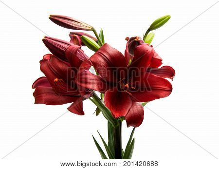 Red lily flower blossom isolated on white background