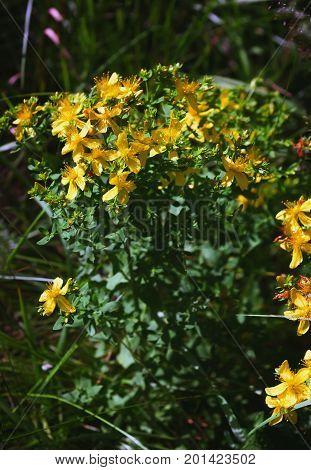 Full medicinal plant Saint John's wort - Hypericum Perforatum - with yellow flowers on a summer day. Selective focus.