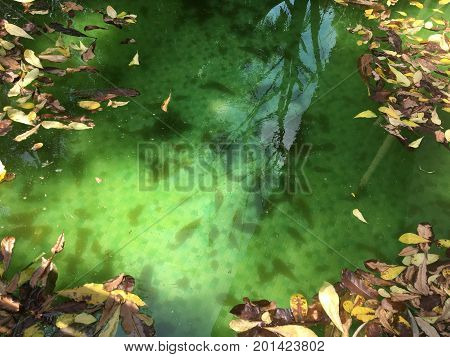 Abandoned and Unclean Swimming Pool with Green Water and Yellow Autumn Leaves. Thailand