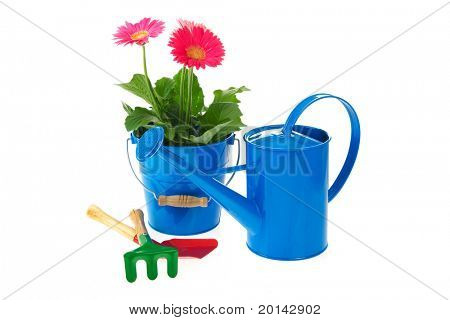 Plant pink Gerber in blue bucket isolated over white background