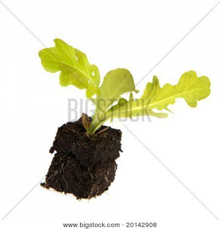 Single vegetable plant lettuce isolated over white background