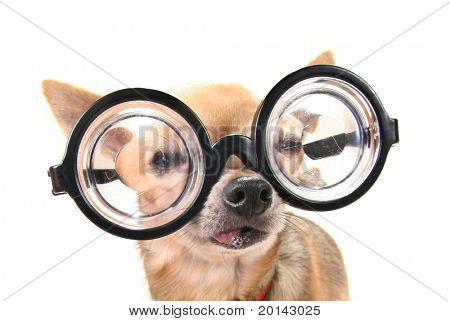 a cute chihuahua with glasses
