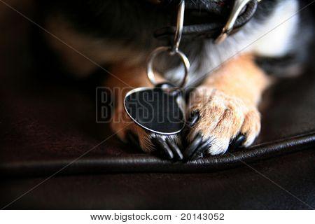 cute chihuahua paws