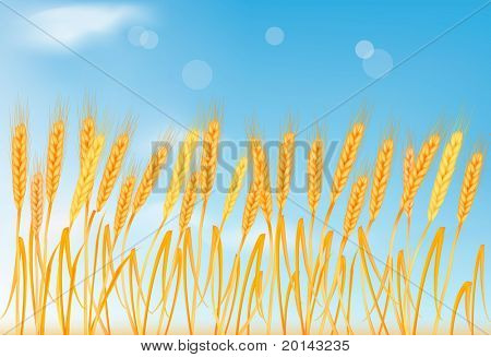 Ripe yellow wheat ears on the blue sky. Vector illustration.