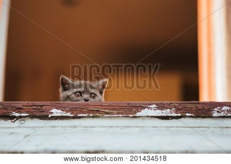 Gray British kitten peeking out the window