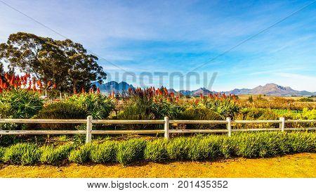 Flowering Krantz Aloe plants in a vineyard in the wine region of Stellenbosch in the Western Cape of South Africa