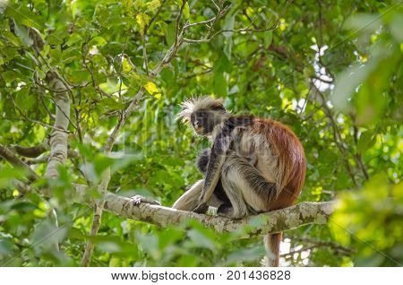 Zanzibar Red colobuses or Kirk's red colobus Old World monkeys the most threatened taxonomic group of primates in Africa - mother with her child - on a tree in Jozani Forest on Zanzibar