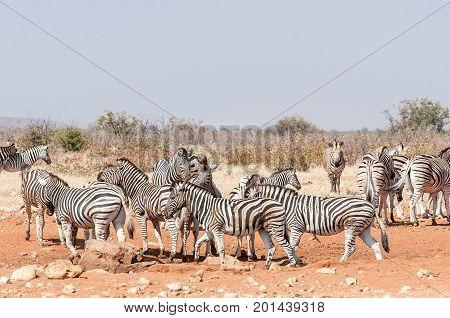 Burchells Zebras and Hartmann Mountain Zebras at the Rateldraf waterhole in North-Western Namibia