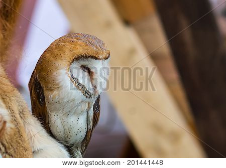 Adorable young owl in speckles with white belly and red-haired brown plumage in profile close-up
