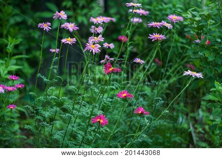 Pink and crimson flowers of painted daisy growing in the garden.