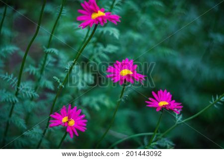 Crimson flowers of painted daisy growing in the garden. Blurred green natural background.
