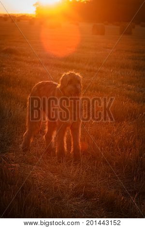 Dog on the background of dawn. Irish Wolfhound in the rays of the rising sun. Outdoors image with soft selective focus in backlight.