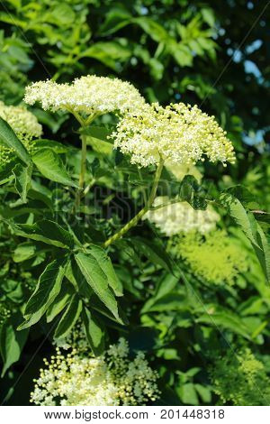Flower buds and flowers of the Black Elder in sommer Sambucus nigra