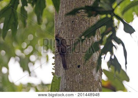 Northern Barred Woodcreeper in the Forest in La Selva Biological Preserve in Costa Rica