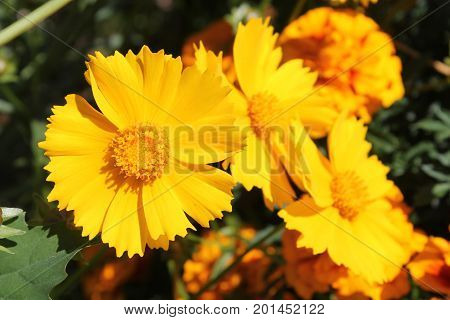 Yellow flowers of lance-leaved coreopsis (Coreopsis lanceolata) in garden