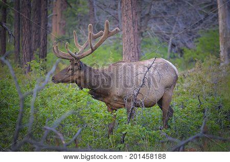 Wild Elk In The Rain Forest