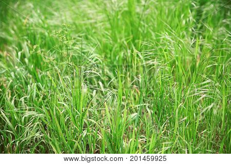 Green fresh spring grass, closeup