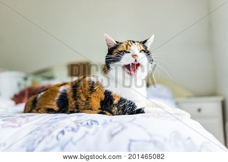Angry Calico Cat Lying On Edge Of Bed Hissing With Mouth Open
