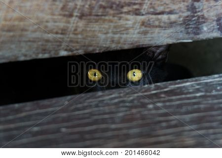 Black cat with yellow eyes cat hiding under wooden.