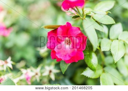 Macro closeup of red magenta pink rosehip rose flower on green bush in summer