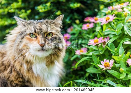 Closeup Portrait Of Fluffy, Large Maine Coot Cat Face Outside By Green Plants In Summer Garden Looki