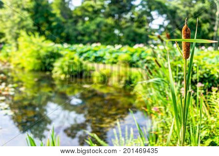 Pond And Cattails In Summer In Kenilworth Park And Aquatic Gardens During Lotus And Water Lily Festi