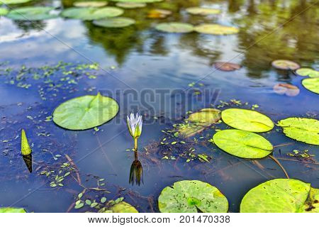 Blooming Bright Blue Or Purple Closed Lily Flower With Pads In Pond