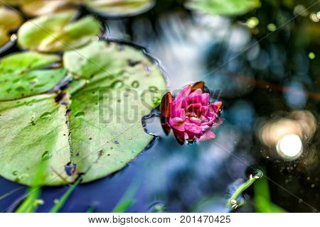 Blooming Pink Red Open Lily Flower With Pads In Pond Drowning