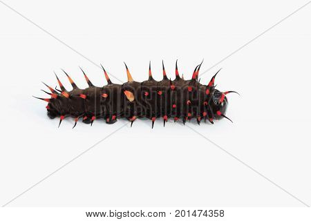catapillar of a bird wing-butterfly on a white background with copy space
