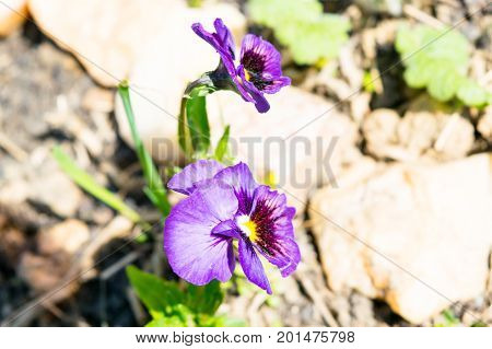 Violet at an early spring flowerbed lighted by sun