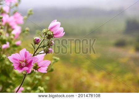 Pink mallow flowers. Blooming musk mallow in summer. Malva flowers.