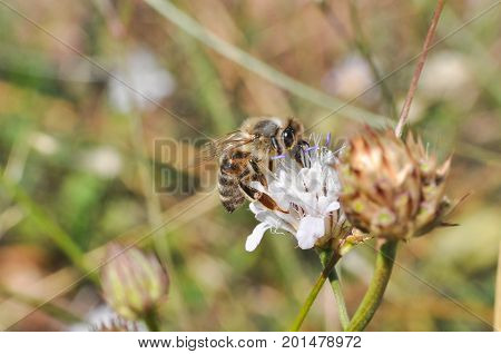 Honey bee collecting nectar on meadow, Honey Bee pollinating wildflower