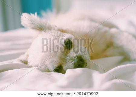 Sweet Dog Sleep Lies On A Bed Of White Veil