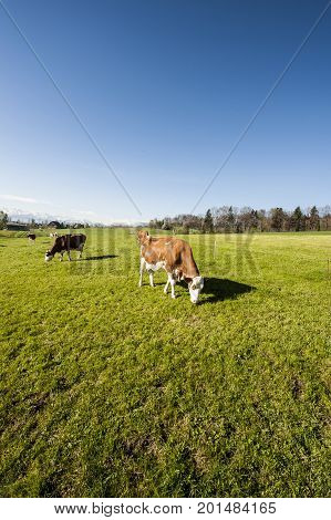Cows grazing on fresh green mountain pastures on the background of snow-capped Alps. Animal husbandry in Switzerland fields and meadow. The village engaged in the production of milk.