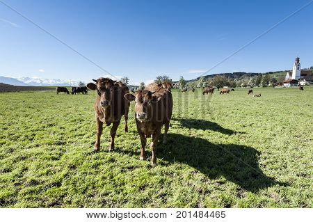 Cows grazing on fresh green mountain pastures of Alps. Animal husbandry in Switzerland fields and meadow. The village engaged in the production of milk.