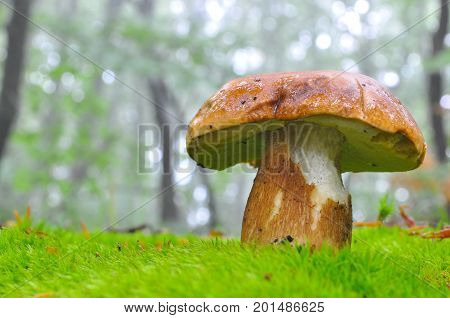 Boletus reticulatus or Boletus aestivalis, commonly known as the summer cep. Edible gourmet wild mushroom, Penny Bun bolete in the forest