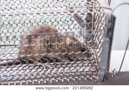 Rat in a cage trap address-forsaken freedom.