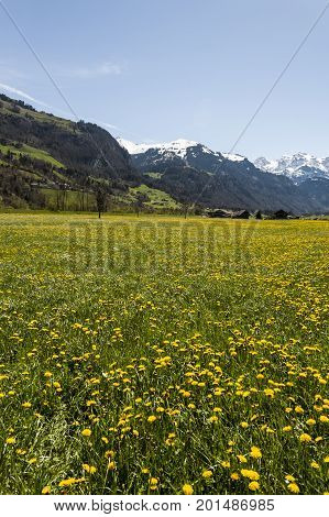 Agriculture in Switzerland flowering meadow and pastures. Swiss village surrounded by fields of dandelion on the background of snow-capped Alps.