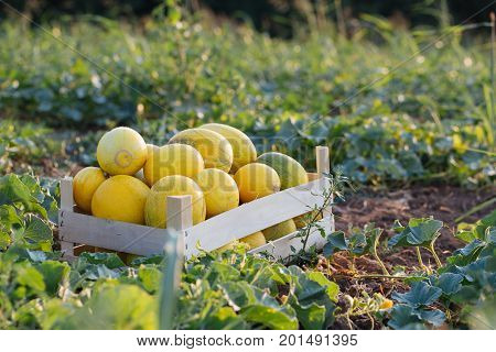 Ripe yellow melon in wood box on the field at organic eco farm. Melon field with fresh harvest in wooden box.