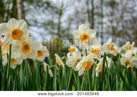 Colourful Daffodil Flowers With Beautiful Background On A Bright Summer Day